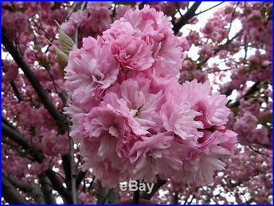 Prunus Serrulata Japanese Sakura Flowering Cherry Bonsai Tree Seed Very RARE