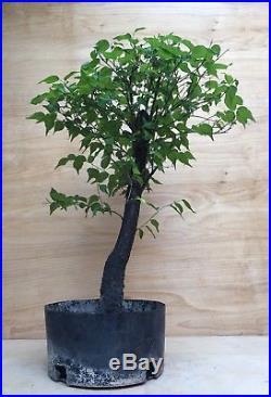 Prunus Ume Japanese Apricot Flowering Fruiting Pre Bonsai Tree Fruit Mume