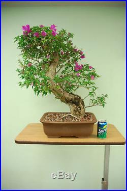Purple BOUGAINVILLEA Bonsai Tree. Flowers year round! Cheap Price