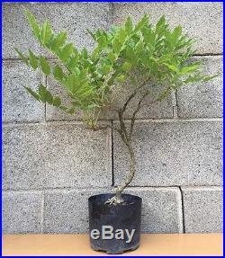 Purple Japanese Wisteria Flowering Bonsai Tree Movement Thick Trunk