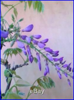 Purple Japanese Wisteria Flowering Pre Bonsai Nice Movement