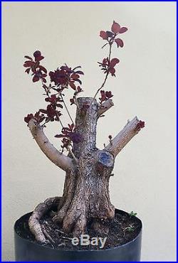 Indoor Bonsai :: Purple Smoke Bush Bonsai Tree, sale :: http