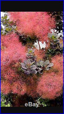 Purple Smoke Bush Bonsai Tree, sale