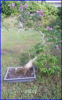 Purple bougainvillea flowering pre bonsai #5
