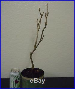 Purple flowering Japanese wisteria for unique shohin mame bonsai tree multi list