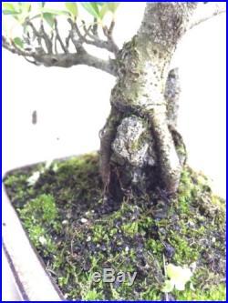 Pyracantha Bonsai Tree Mame Shohin Bonsai in Glazed Bonsai Pot