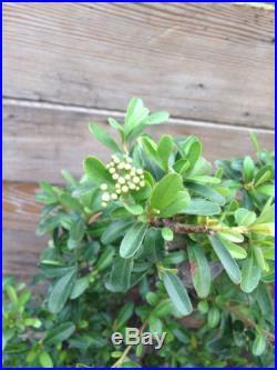 Pyracantha Firethorn Bonsai (Flowering and Fruit)
