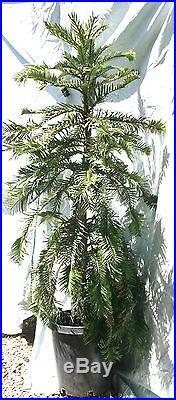 RAREST TREE in the WORLD! Wollemia nobilis