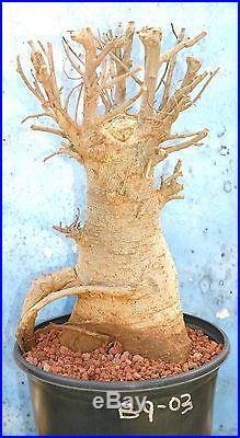 RARE! BAOBAB TREE from AFRICA! GREAT BONSAI