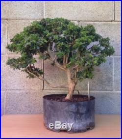 RARE Dwarf Cherry Dazzle Crape Myrtle Bonsai Tree SPECIMEN