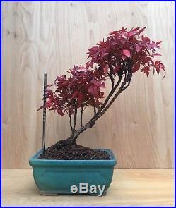 RARE Dwarf Nandina Flowering Bonsai Tree Multi Trunk Nebari Slanted Style