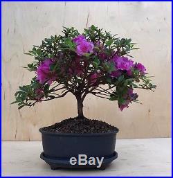 RARE Purple Satsuki Azalea Flowering Bonsai Tree Shohin Thick Trunk