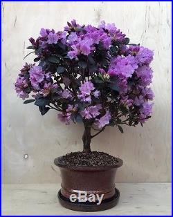RARE Rhododendron Huge Bonsai Tree Evergreen Lavender Specimen IN BLOOM