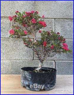 RARE TRUE DWARF Crape Myrtle Flowering Pre Bonsai FLOWERING SPECIMEN IN BLOOM
