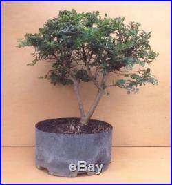 RARE TRUE Dwarf Cherry Dazzle Crape Myrtle Bonsai Tree SPECIMEN