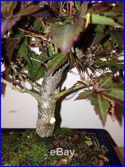 RED LACE LEAFE SHOHIN JAPANES MAPLE TREE FROM SEED 17 YEARS OLD