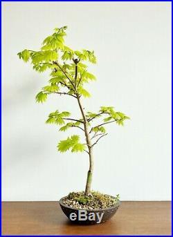 Rare Acer Palmatum Shirasawanum Aurum Bonsai
