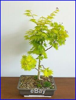 Rare Acer Palmatum Shirasawanum Jordan Bonsai