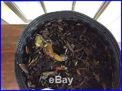 Rare Black Madeira live fig tree plant. 3 gallon size