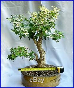 Rare Bonsai Specimen Chinese Shantung Acer