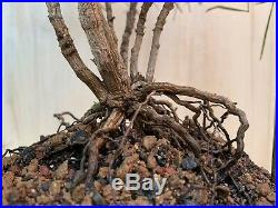 Rare Chime Thread Leaf Nandina Bonsai Multi Trunk Multicolor Leaf Nebari HTF