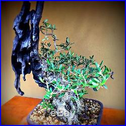 Rare Collected Olive by New England Bonsai Gardens