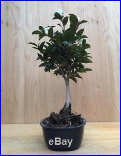 Rare DWARF Camellia Flowering Bonsai Unique Tree