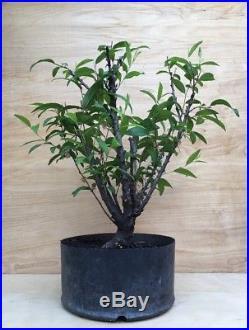 Rare Dwarf Flowering Almond Bonsai Tree Pink To White Thick Trunk HTF