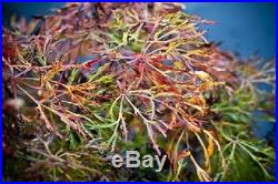 Rare Dwarf Laceleaf Japanese Maple Tree (Acer japonicum'Fairy Lights')