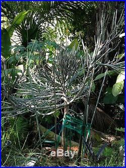 Rare Euphorbia arbuscula From Socotra Cactus