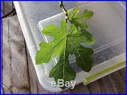 Rare Galicia Negra fig tree plant