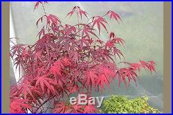 Rare Japanese Maple Tree (Acer palmatum'Beni otake')