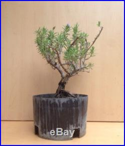 Rare Mozart Rosemary Flowering Pre Bonsai Tree Old Evergreen Nice Thick Trunk