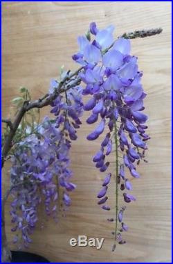Rare Re Blooming Purple Chinese Wisteria Flowering Bonsai Specimen HTF