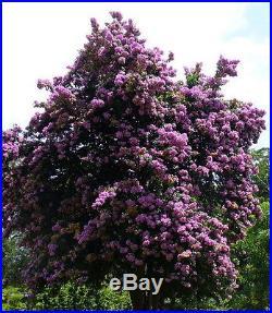 Rare Tree Bougainvillea Everblooming Out/Patio/Bonsai 4 Pot
