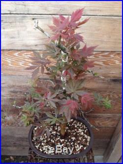 Red Japanese Maple Bonsai