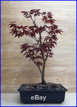 Red Japanese Maple Bonsai Tree Atropurpureum Momiji Thick Trunk No Graft
