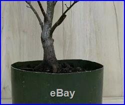 Red Japanese Maple Pre Bonsai Tree Big Thick Trunk Specimen Momiji Atropurpureum