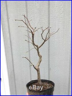Red Leaf (loose Flowering) Hornbeam Tree Pre Bonsai Stock #1