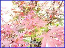 Red Shaina maple for mame shohin bonsai tree