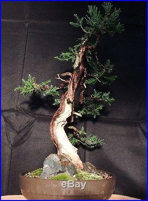 Rocky Mountain Juniper Windswept Bonsai