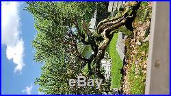San Jose Juniper Bonsai Private Collection