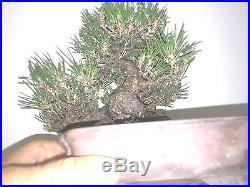 SHOHIN JAPANESE BLACK PINE SHOW WINNER IF SHOWN GREAT MOVEMENT BONSAI A++ Tree