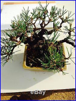 SHOHIN JAPANESE BLACK PINE SHOW WINNER MUST HAVE TREE GREAT MOVEMENT