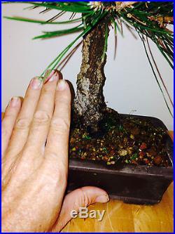 SHOHIN JAPANESE CORK BARK BLACK PINE CORKBARK, NICE TREE GREAT CORKING