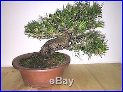 SHOHIN JAPANESE RED PINE SHOW WINNER IF SHOWN GREAT MOVEMENT BONSAI A+ TREE