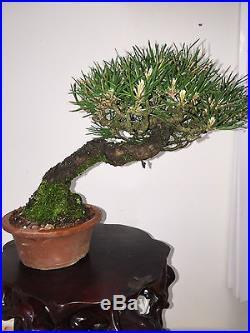 SHOHIN / MAME JAPANESE BLACK PINE SHOW WINNER GREAT MOVEMENT BONSAI A+ TREE
