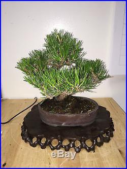 Shoin Mame Black Pine Bonsai Great Movement Show Ready A++ Fantastic Tree