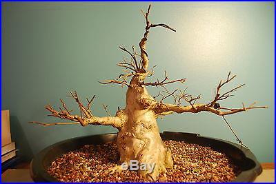 STUNNING CHUCHIN CREPT MYRTLE BONSAI PURPLE FLOWERING GOOD ONE -GUY GUIDRY