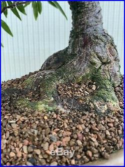 SUPERB BONSAI WILLOW LEAF FICUS (Ficus salicifolia)